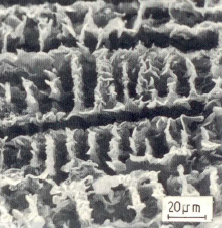 Figure 2: D graphite, deep etched, dendrite package completely dissolved, 650:1