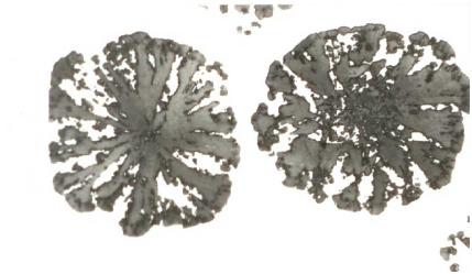 """Bild 6: """"Schneeflockengrafit"""" infolge zu hoher Restmagnesiumgehalte (0,082%), ungeätzt, 200:1"""